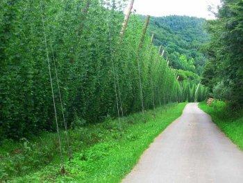 Die Hopfengärten im Tal der Prüm